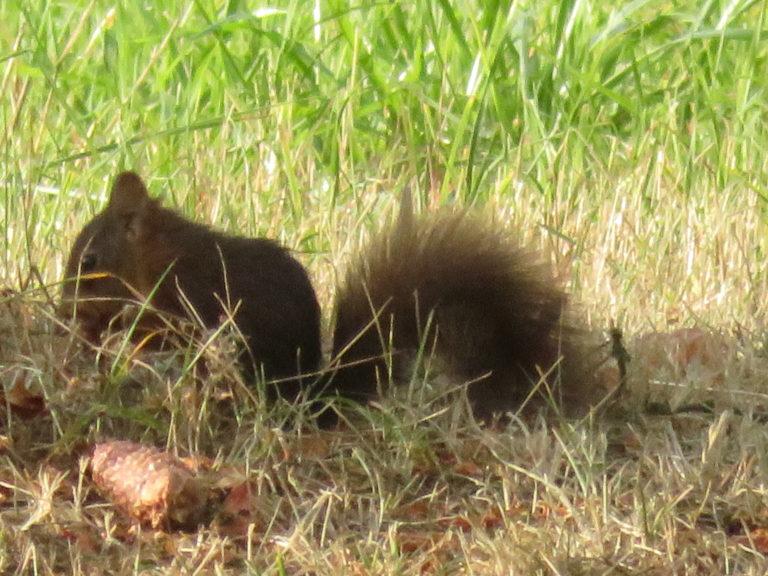 écureuil (30)